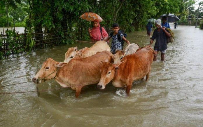 Cattle, flood, Belagavi milk production, rain, BEMUL, Nandini