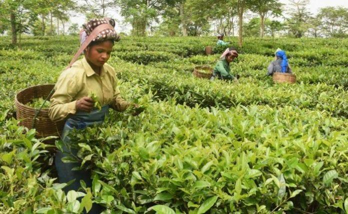 tea growers, production, sales, Assam, protests, Citizenship Act, Citizenship (Amendment) Bill, north-east, immigrants, Bangladesh, Afghanistan, Pakistan