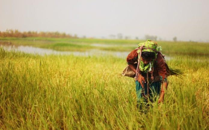 Tamil Nadu farmers, Minimum Support Price, Tamil Nadu Cauvery Farmers Association, National Commission on Farmers , Federation of Tamil Nadu Farmers Association, Tamil Nadu Civil Supplies Corporation, farmers, paddy, Samba harvest