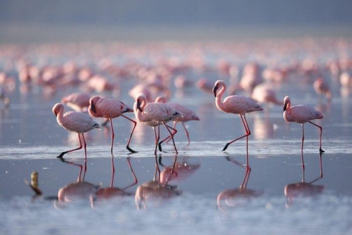 Flamingoes on lake