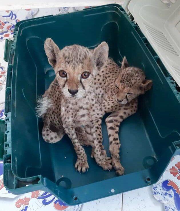 Cheetah cubs Somaliland Gulf UAE