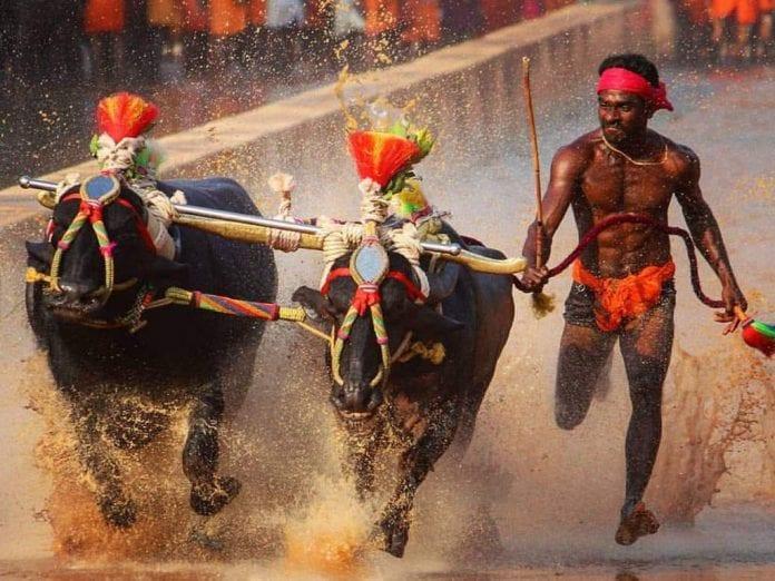 Kambala Jockey, Srinivas Gowda, Kambala, Buffalo race, Usain Bolt, Sports Authority of India