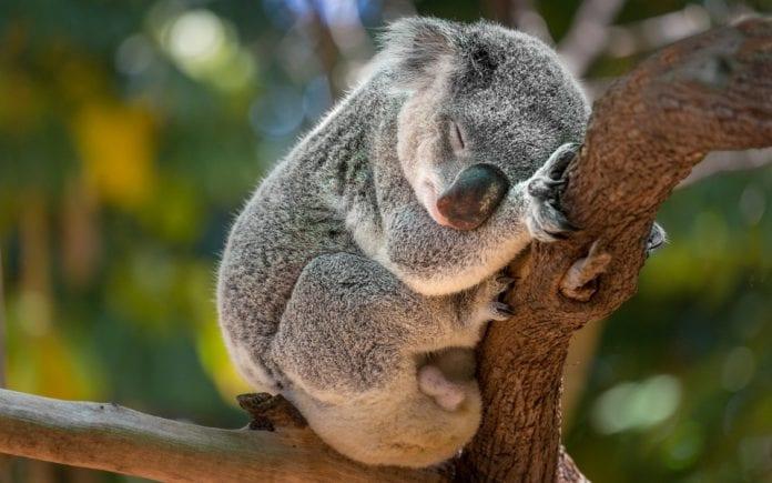 koalas, Australia, fire, felling of trees