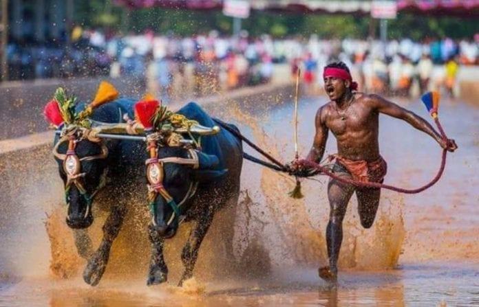 Usain Bolt, Srinivas Gowda, Buffalo race, Kambala, News, Karnataka