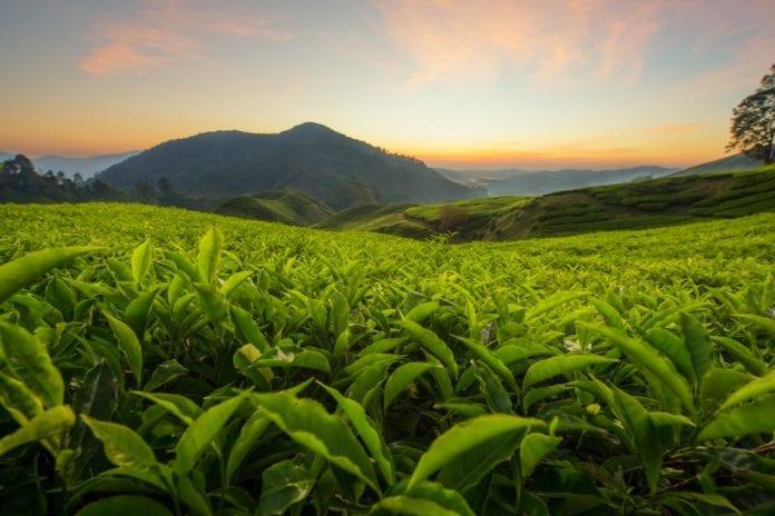 tea, tea growers, output, coronavirus, COVID-19, Lockdown