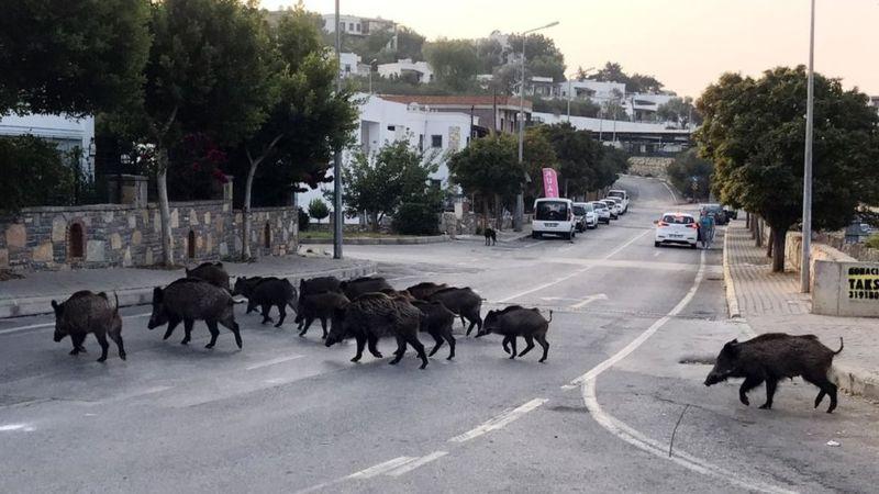 Boars Barcelona Animals City