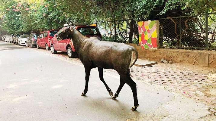 Nilgai Noida Animal City