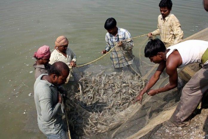 aqua economy, prawns, shrimp farming, West Bengal, Cyclone Amphan, prawns exports