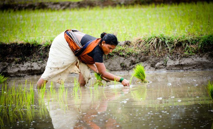 Kerala, Paddy, farming