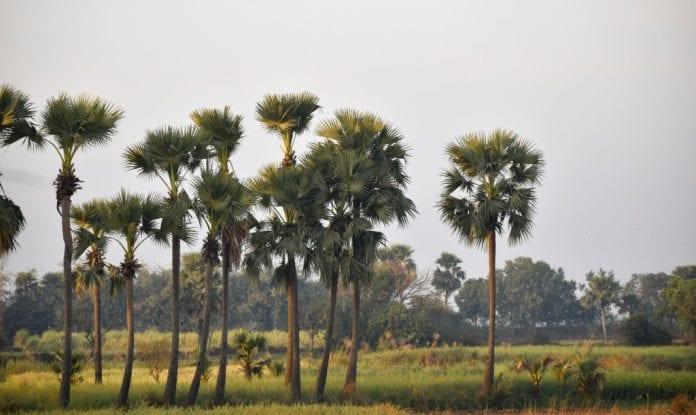 Palm trees, Tamil Nadu - The Federal